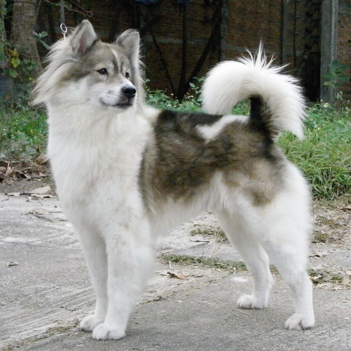 Bangakaev Dog