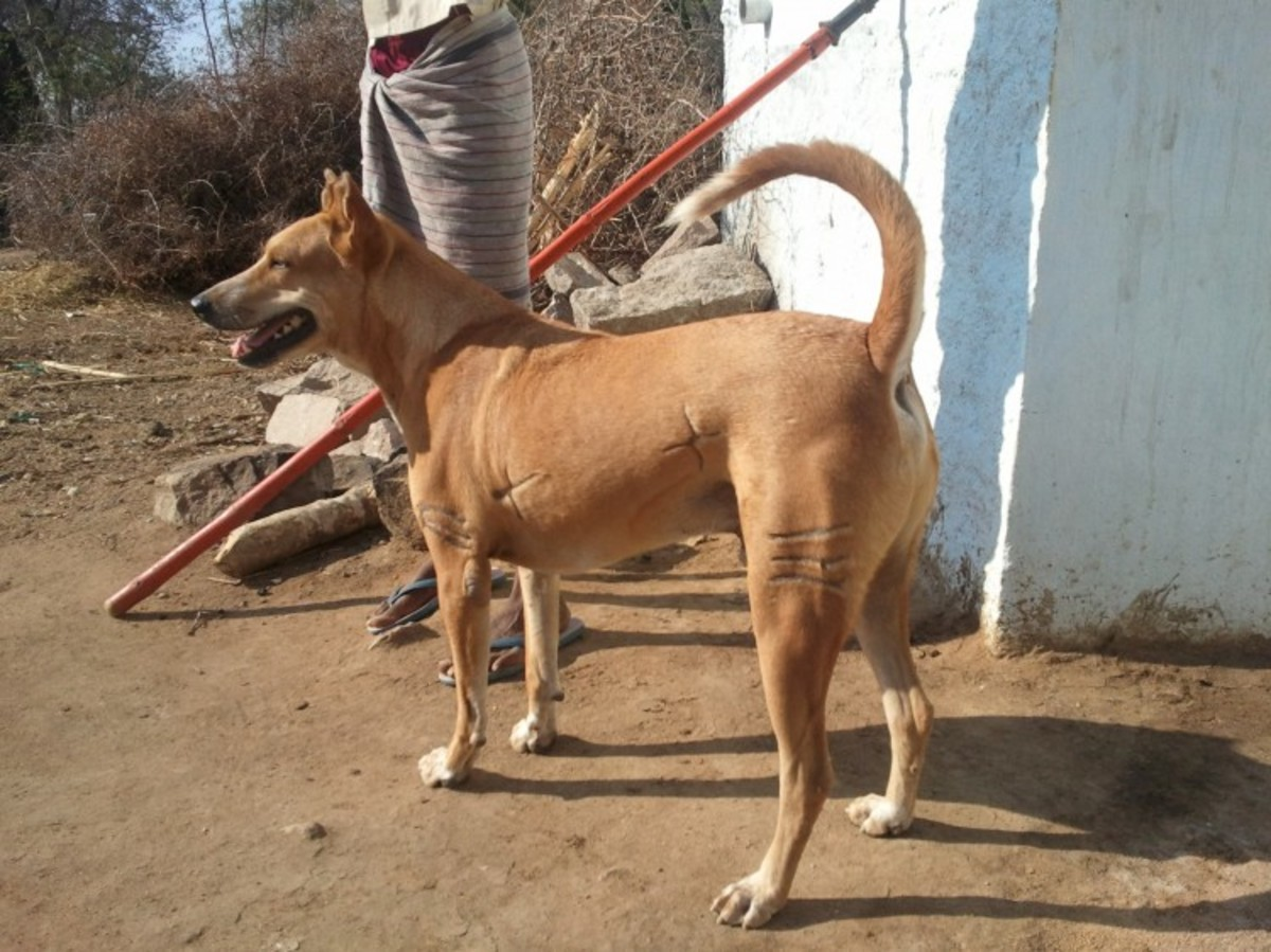 Pandikona Hunting Dog