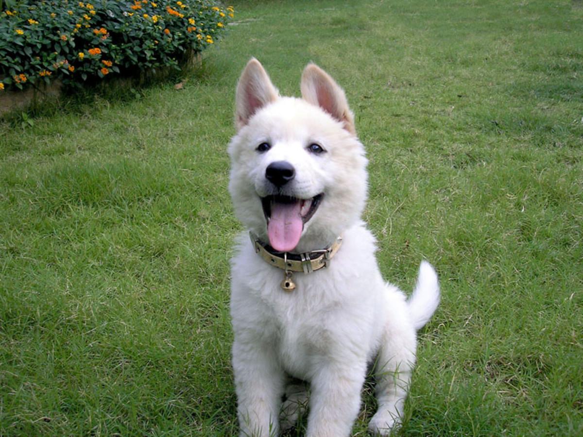 White Kintamani Dog