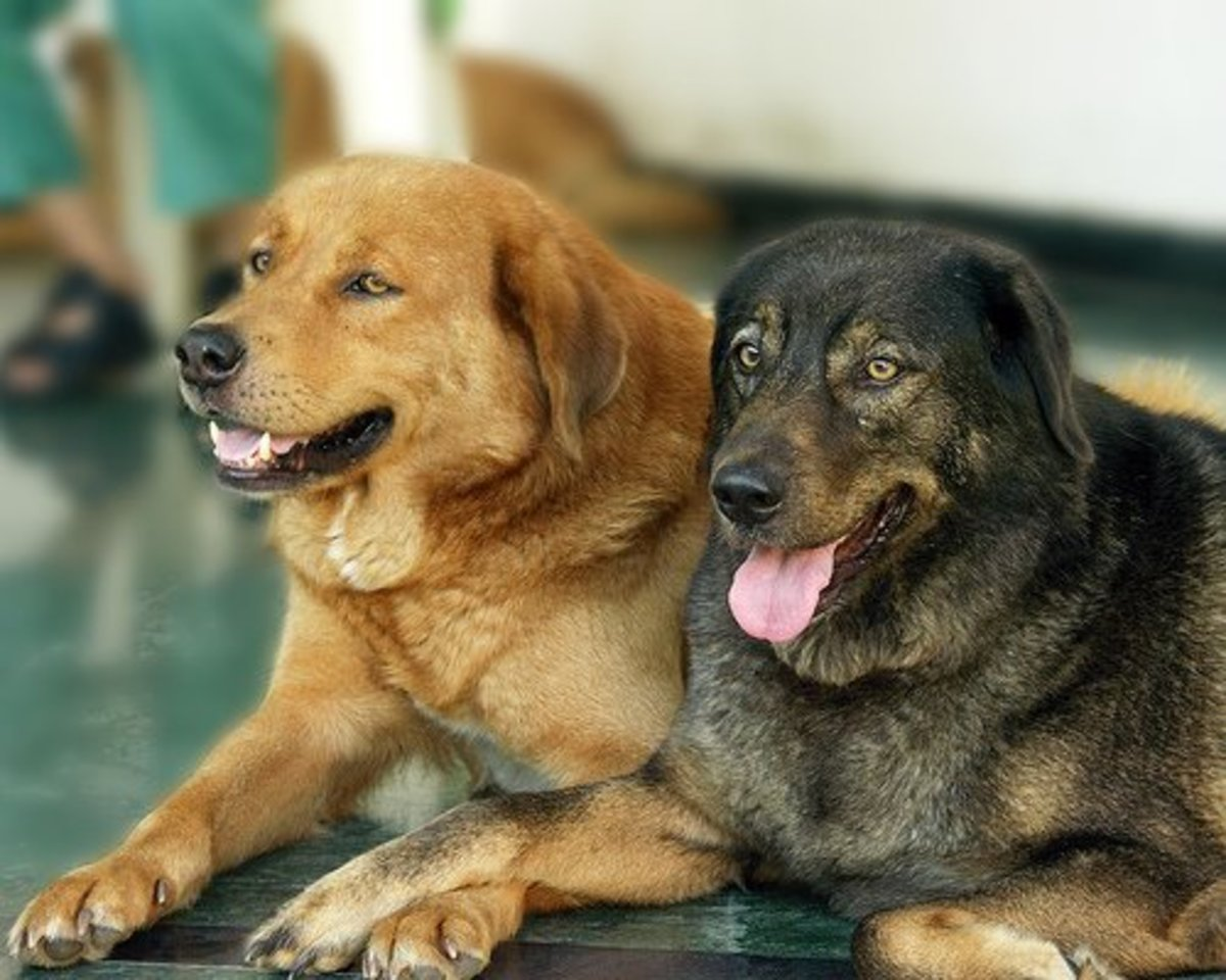 8: Bhutia Dogs