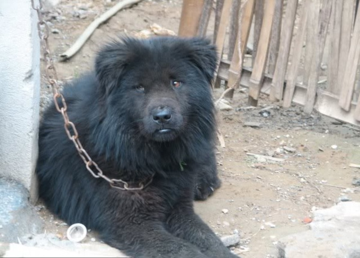 unrecognized-mastiff-dogs-from-nepal-and-bhutan