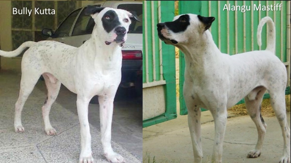 Common Molosser dogs of India and Pakistan