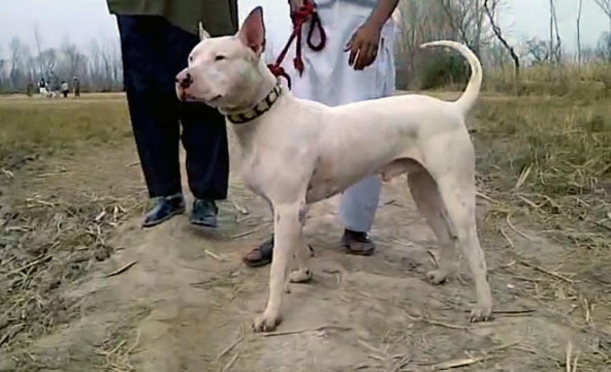 Pakistani Gull Terrier