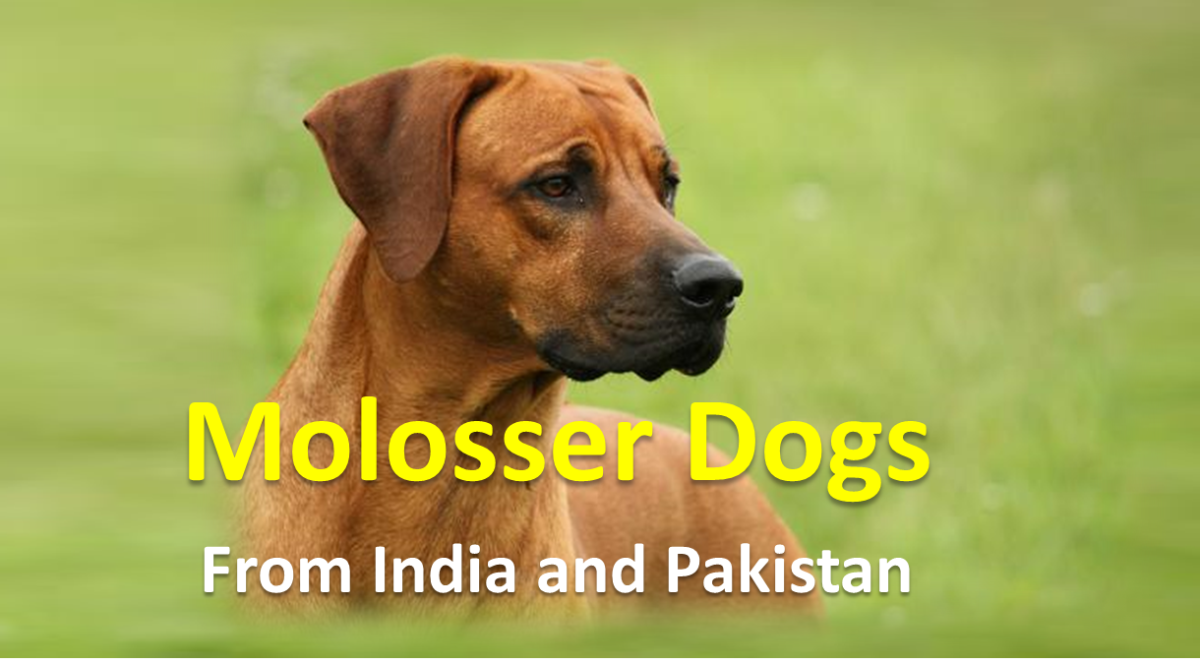 Strongest Molosser Dogs from India and Pakistan