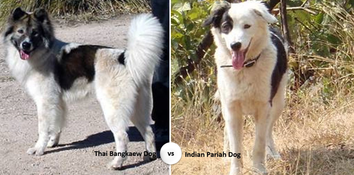 Thai Bangkaev vs Indian Pariah