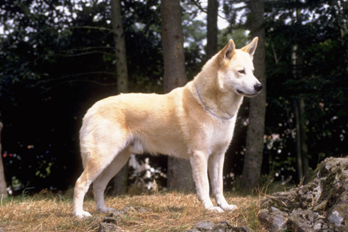 indian-pariah-the-ancestral-stock-of-5-new-dog-breeds