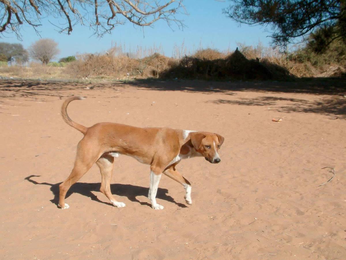 Africani Dog