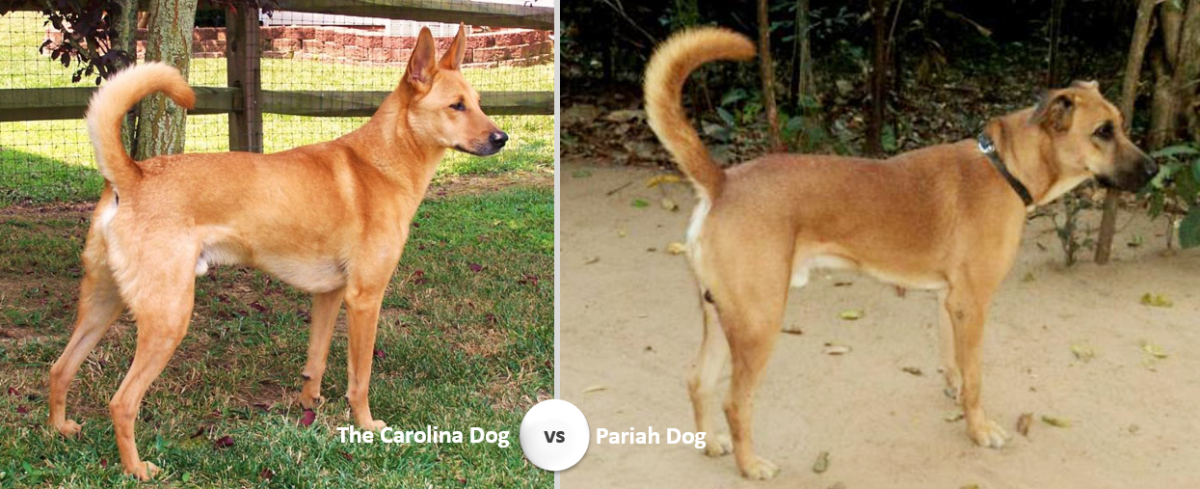 The Carolina Dog vs Pariah Dog