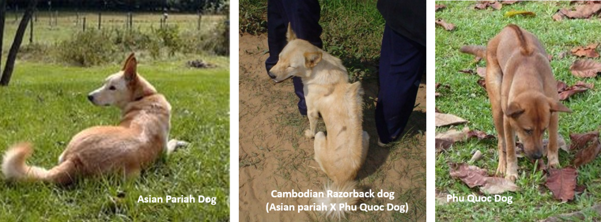 Origin of Cambodian Razorback Dog