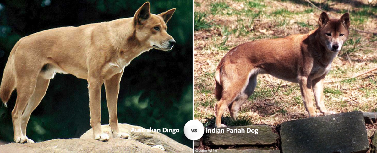 Dingo vs Indian Pariah Dog