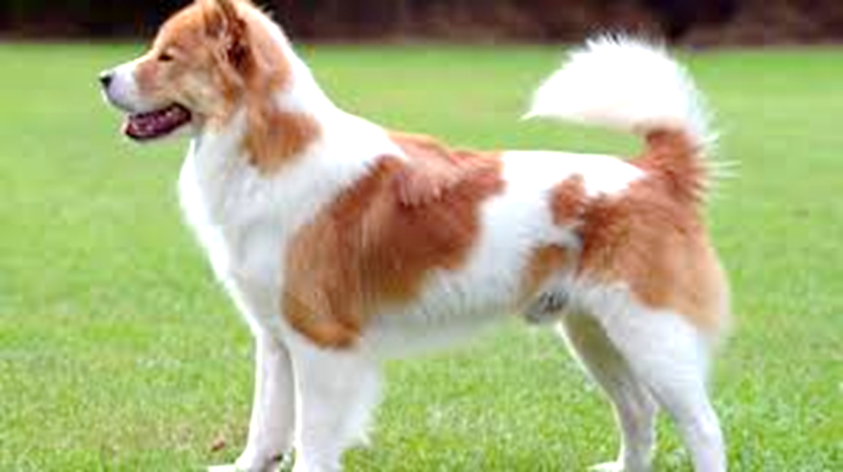 Bangkaev Dog
