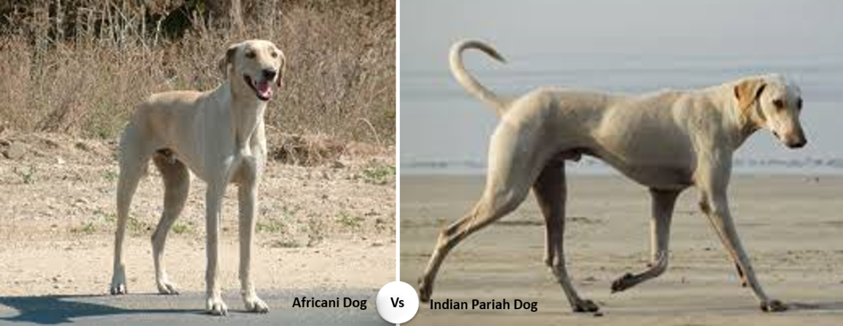 Africani vs Indian Pariah Dog