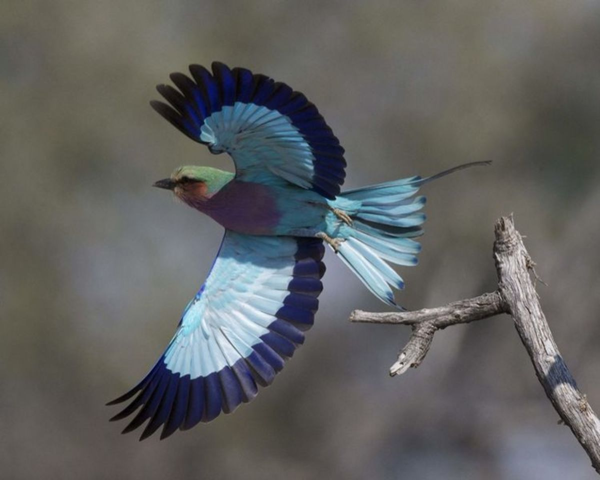 Lilac-breasted Roller in flight