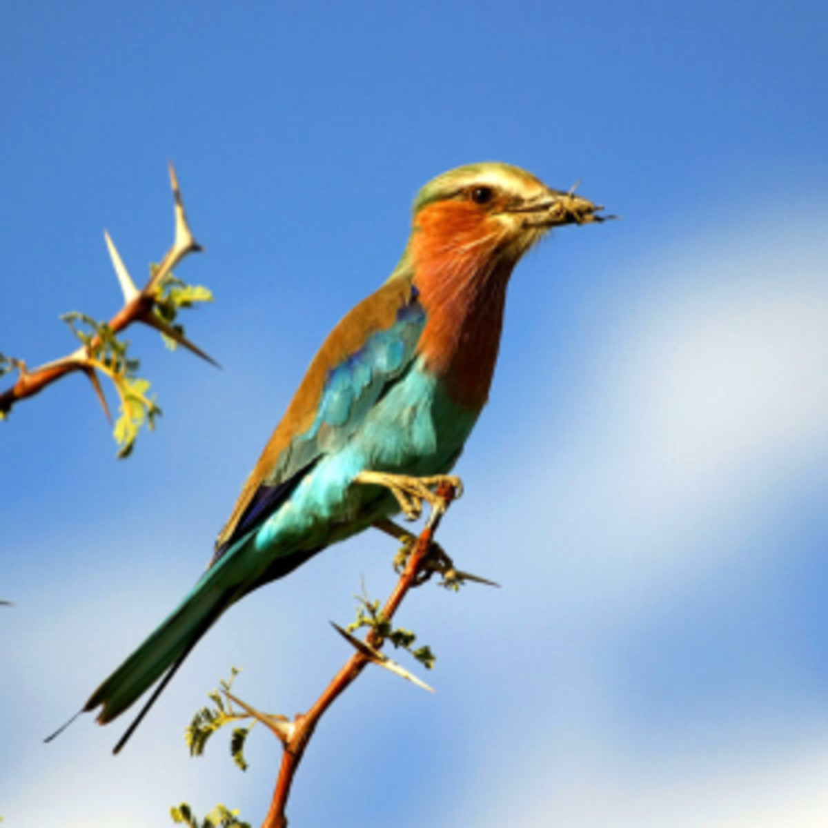 Lilac breasted Roller with Grasshopper on Acacia tree in Botswana