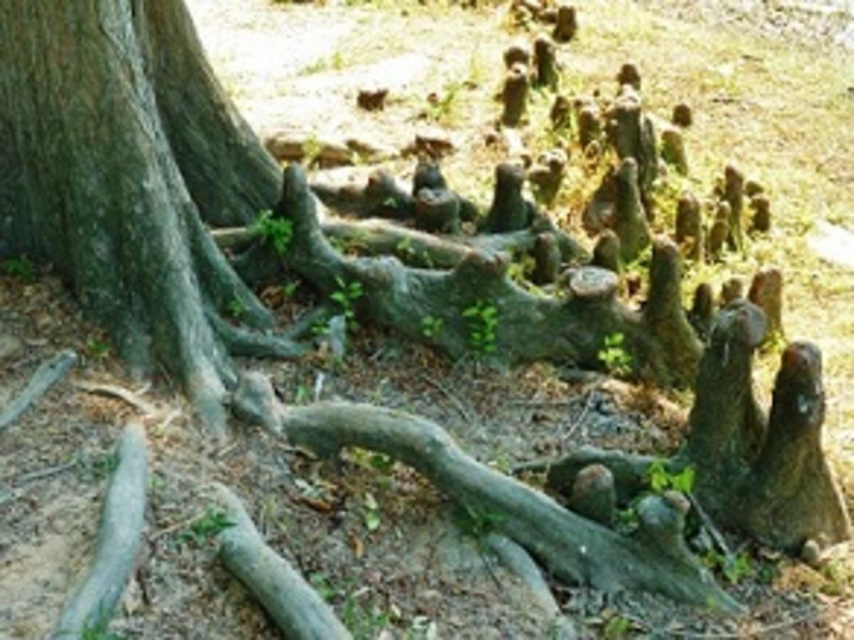 Bald Cypress tree knees