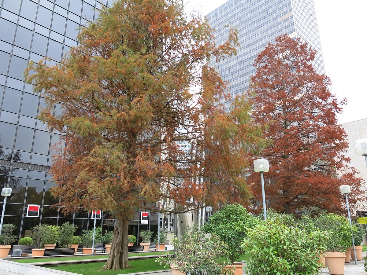 Bald Cypress Trees in the Fall Season
