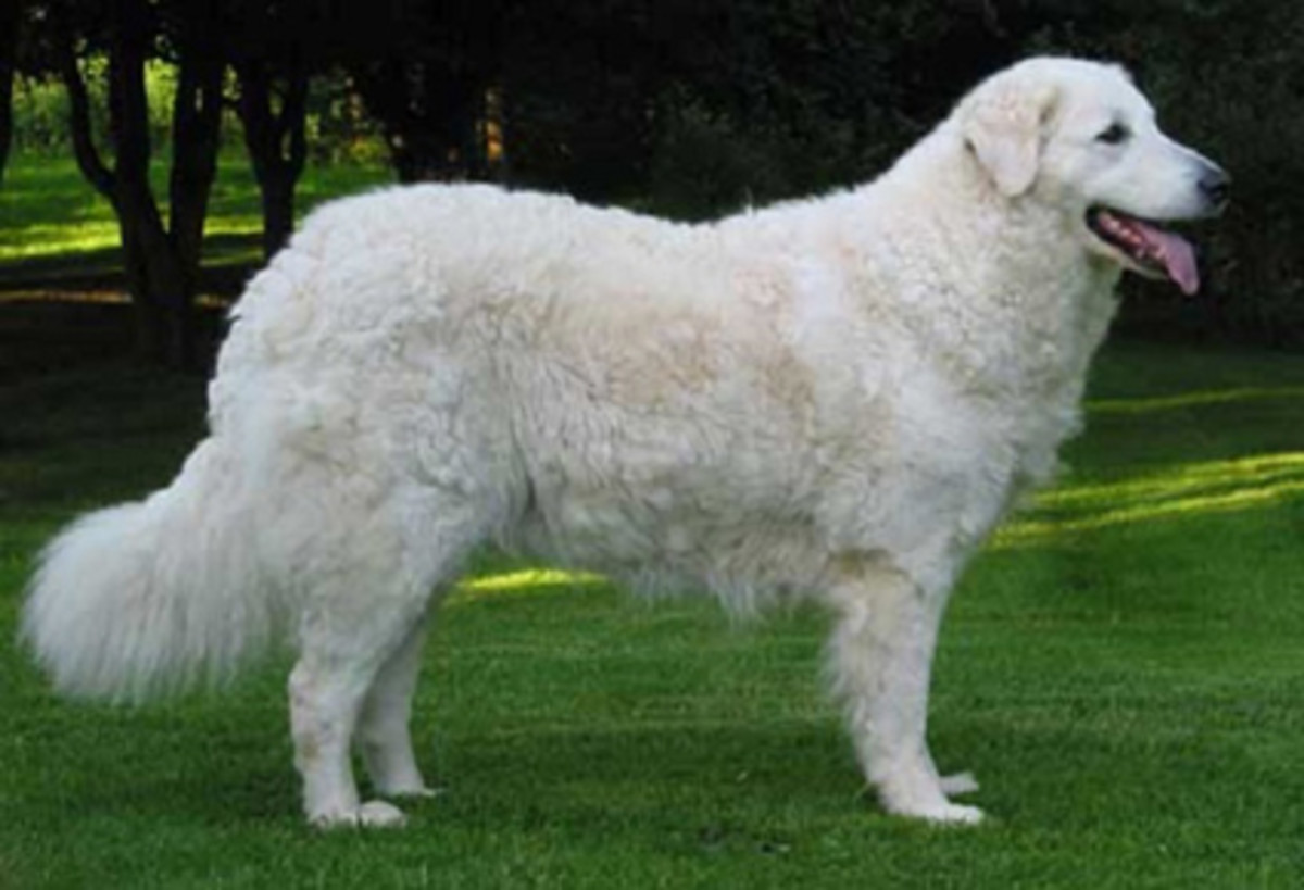 the-10-tallest-white-colored-short-haired-dogs