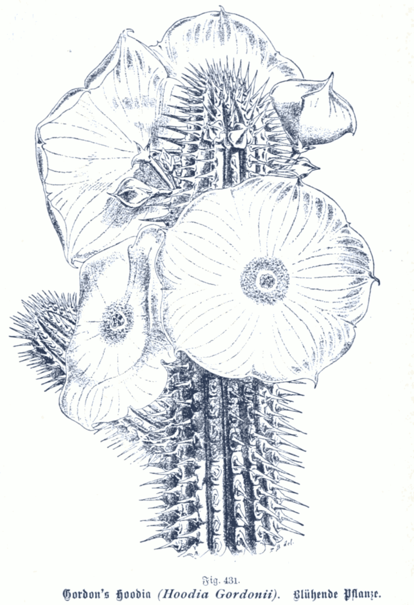 hoodia-miracle-plant-of-hype