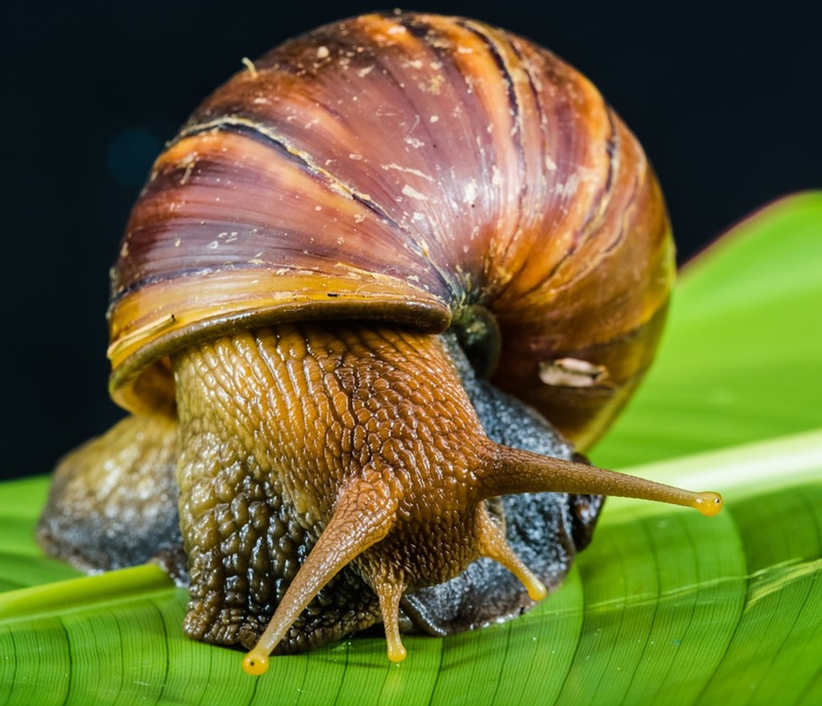How Do Snails Mate: An Interesting Question with an Even More Interesting Answer