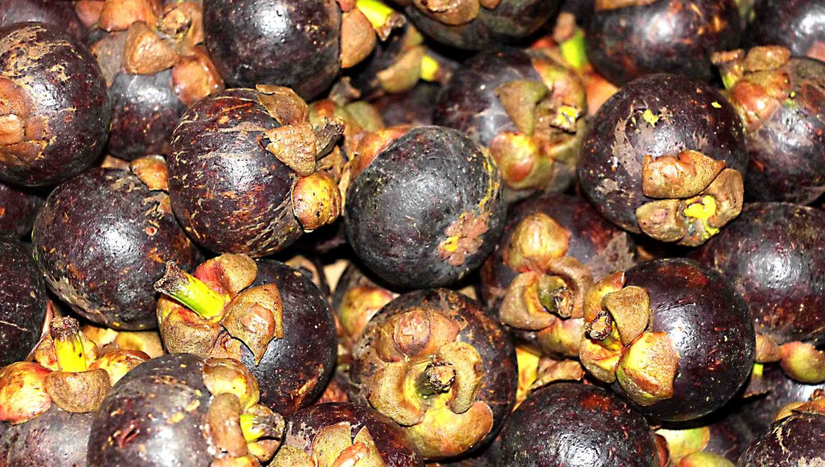 Purple mangostenes contain a sweet, tangy white flesh to be eaten raw, or turned into a juice. Thailand is the largest producer and exporter of mangostenes in the world