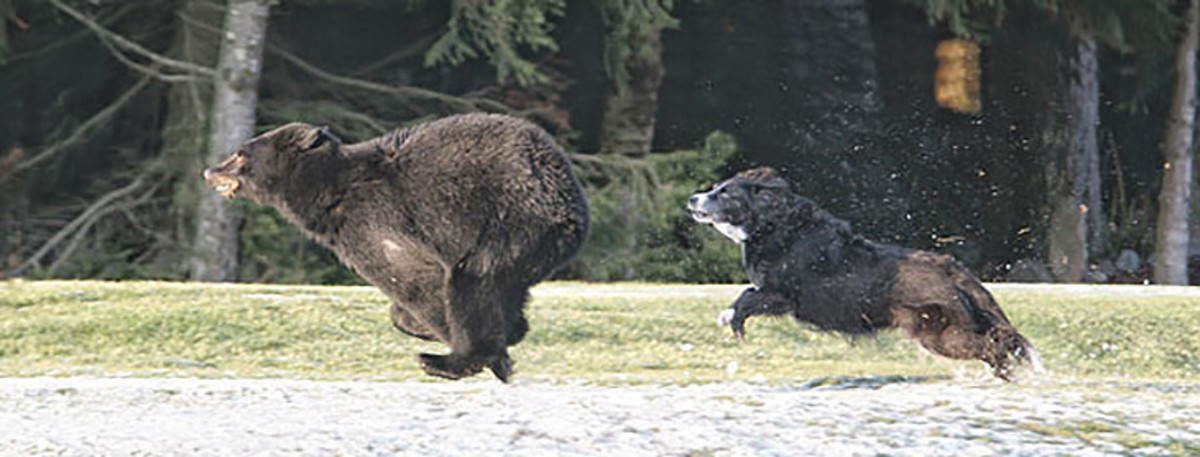 A dog chases a bear.
