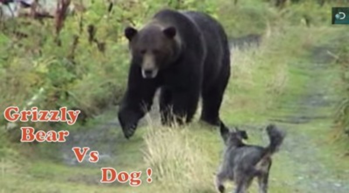 Dog versus grizzly bear.
