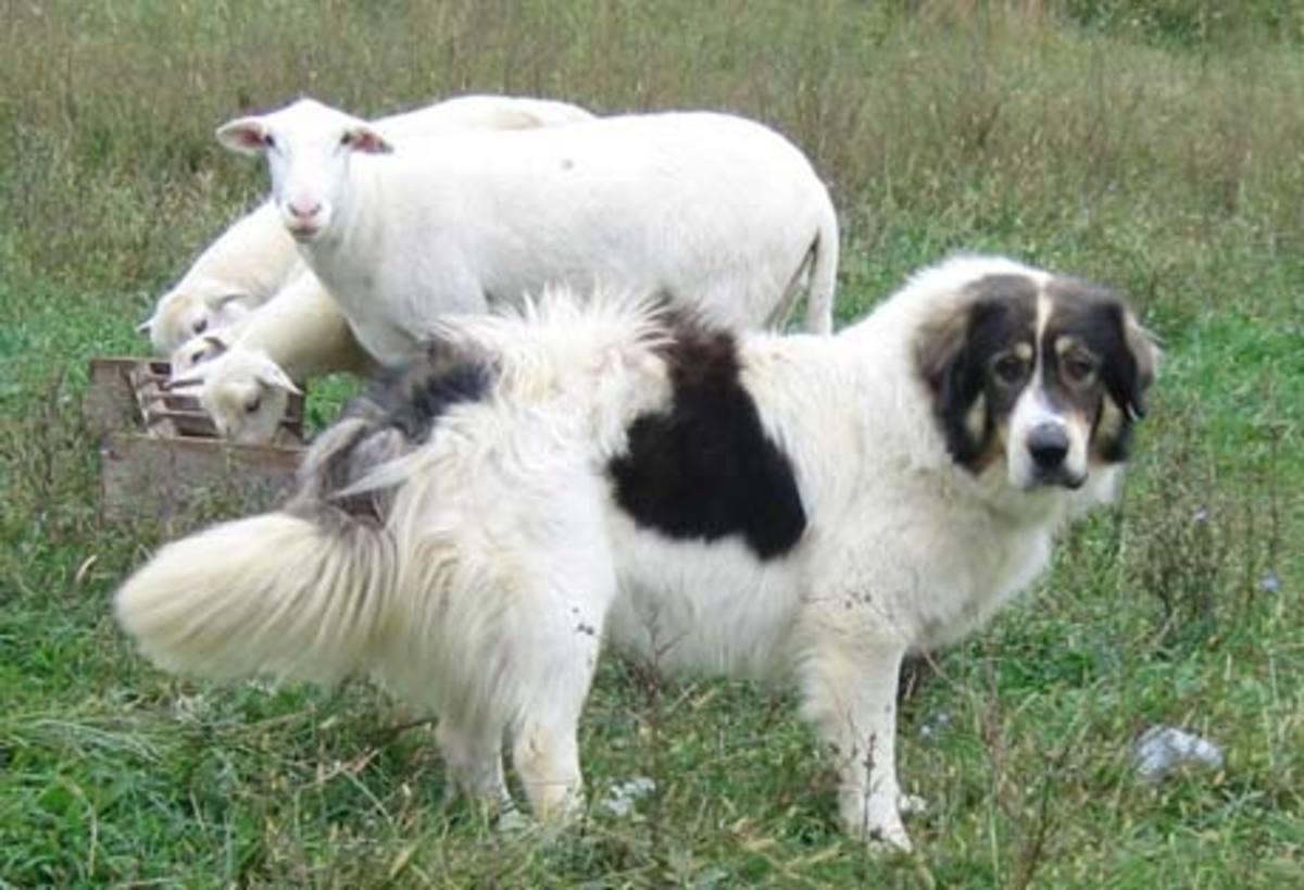 Bulgarian Karakachan dog