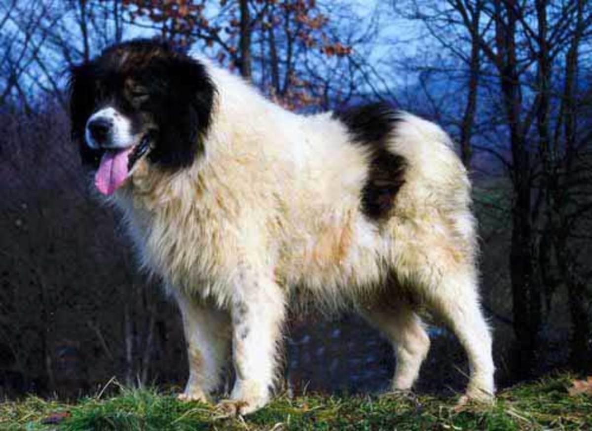 Bosnian Tornjak.