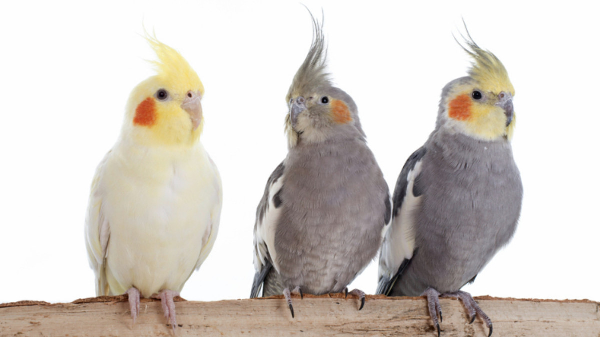 How to Pick a Companion for a Cockatiel?