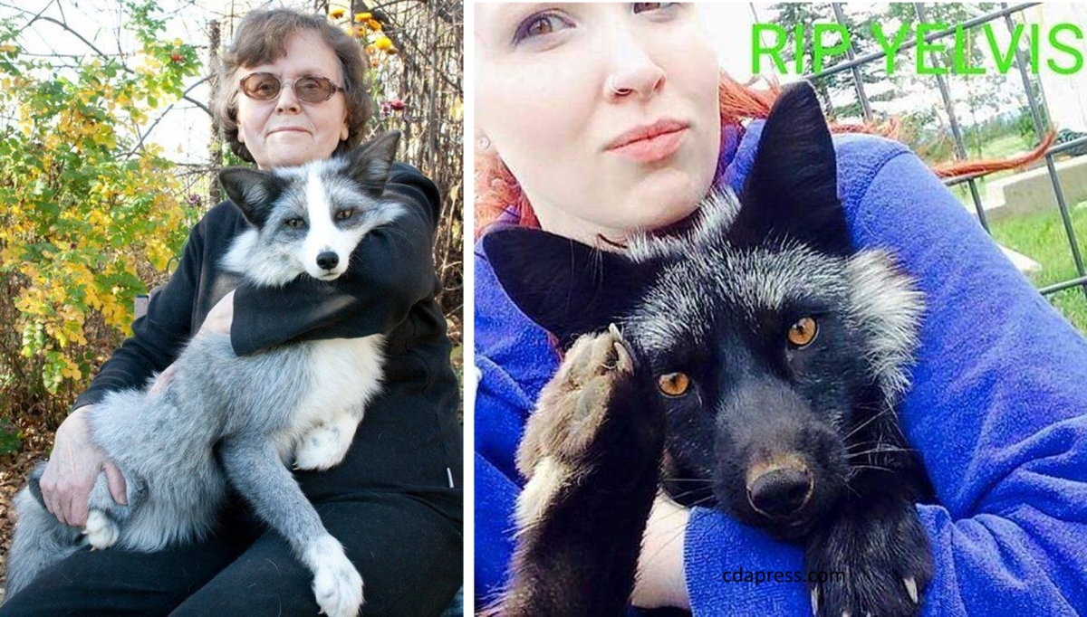 Siberian Fox or Silver Fox as pet
