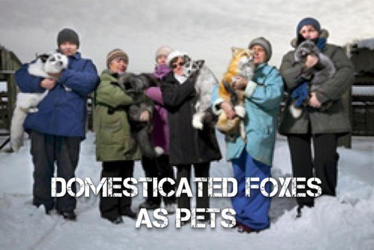foxes-kept-as-a-pet