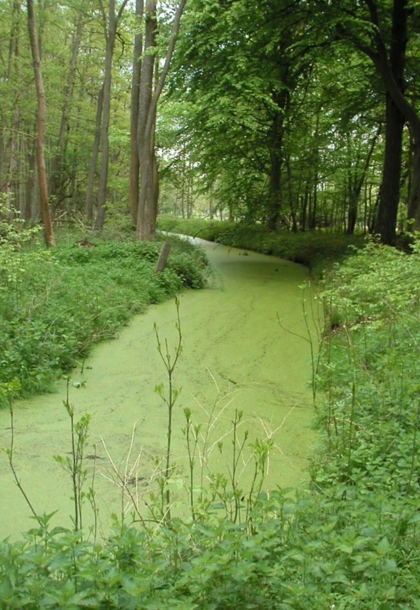 Here duckweed purifies the water in a slow moving creek.