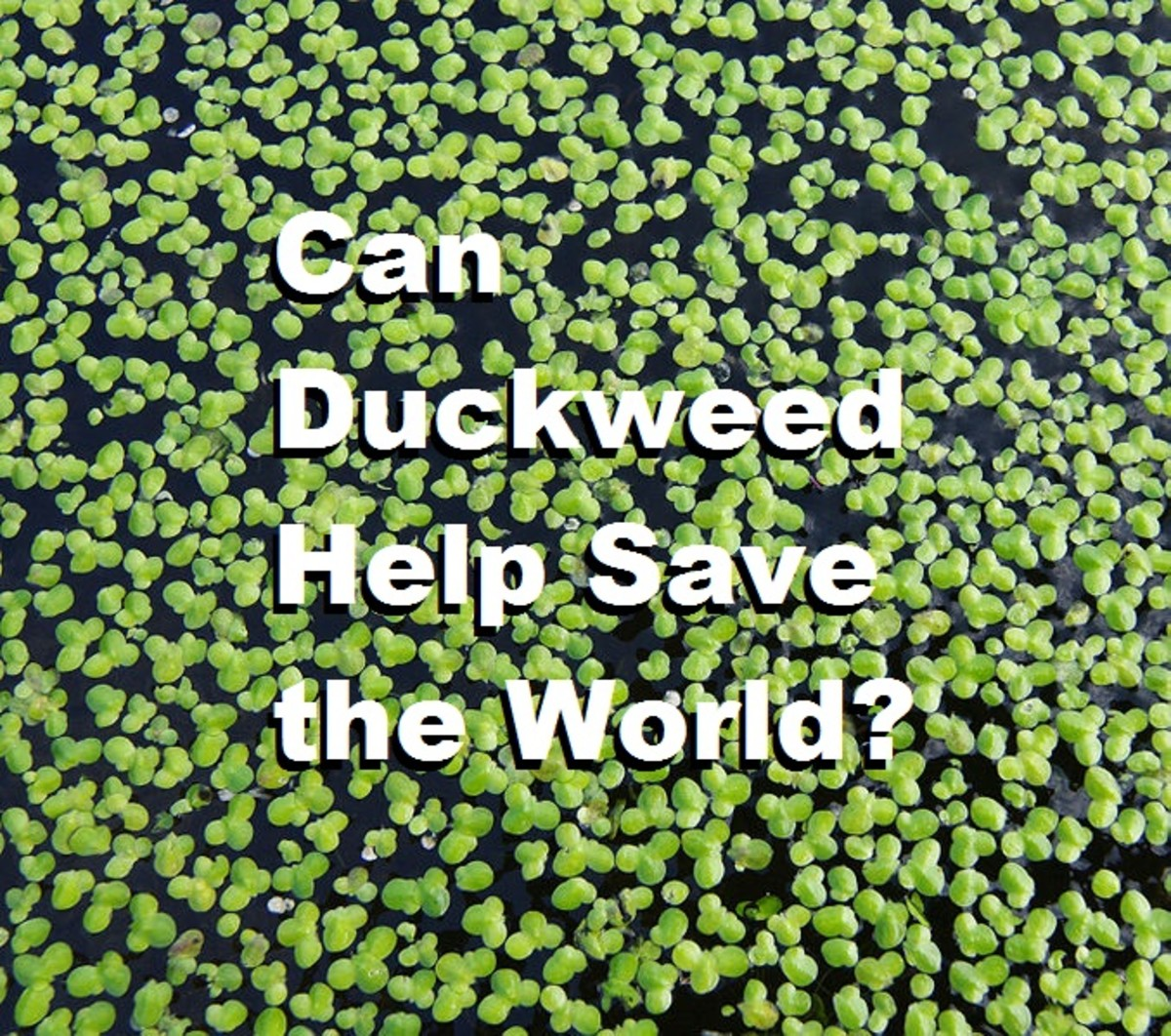 Can Duckweed Help Save the World?