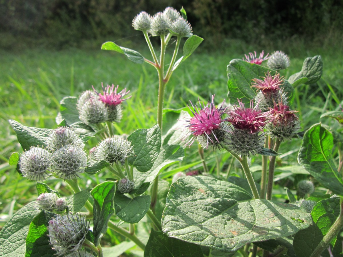 Burdock plants can be annoying, delicious, medicinal...