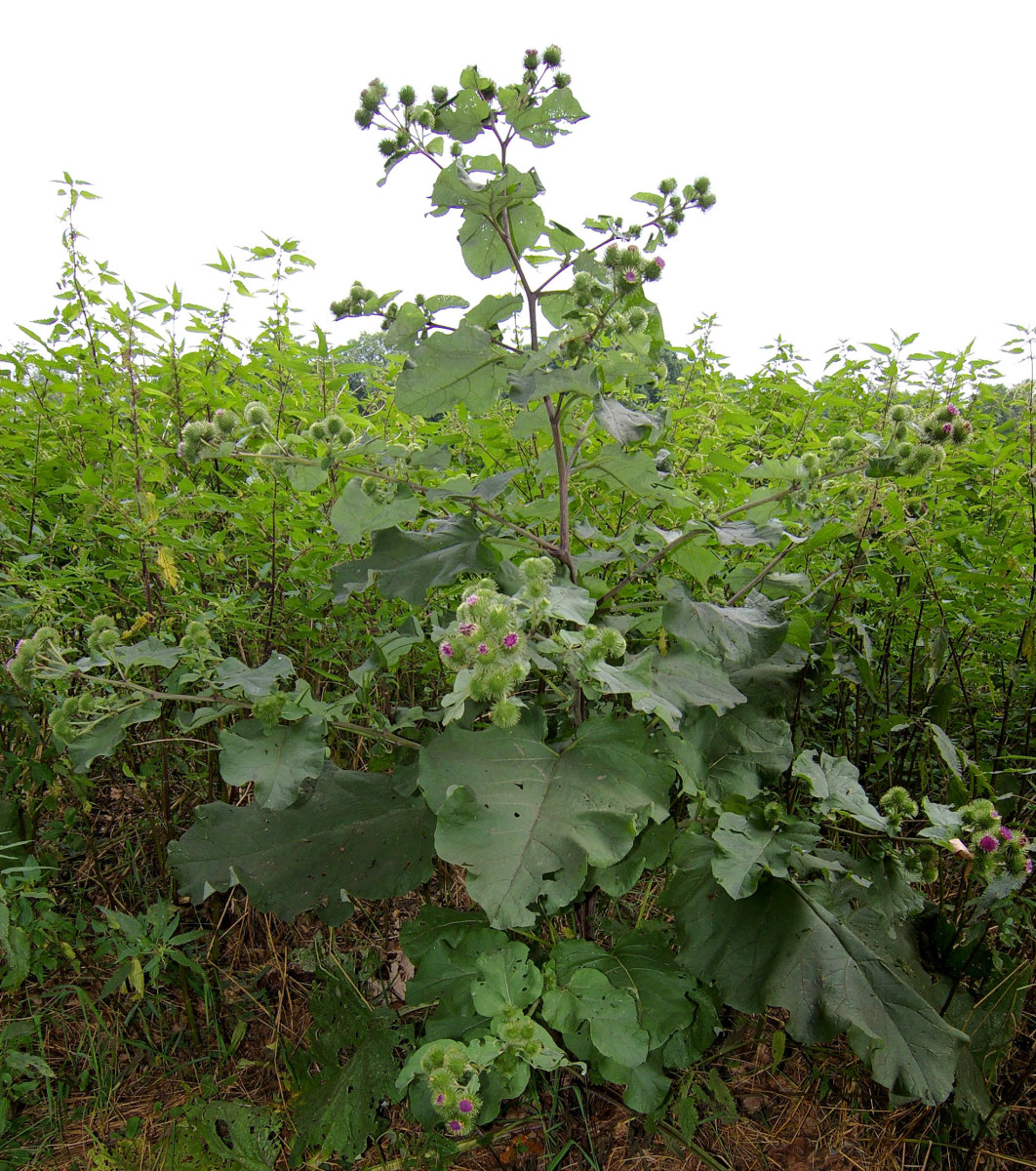 The burdock plant grows to a height of about three to four feet. It has purple flowers that bloom between the months of June and October and wavy, heart-shaped leaves that are green on top and lighter (whitish) on the bottom.