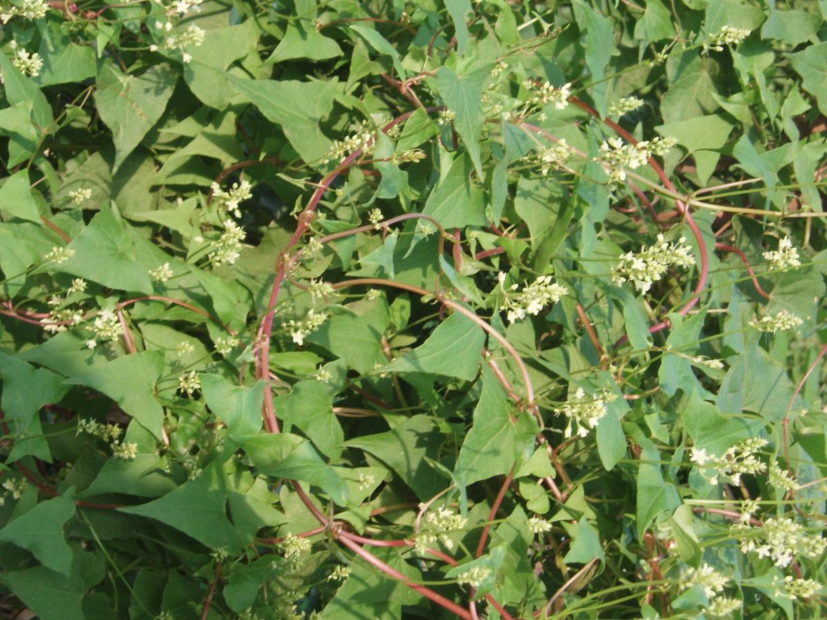 The Amazing Health Benefits of Chinese Knotweed (Polygonum Multiflorum)