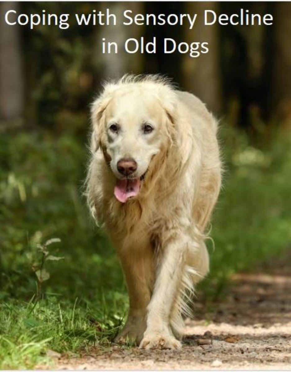 Coping With Sensory Decline in Old Dogs