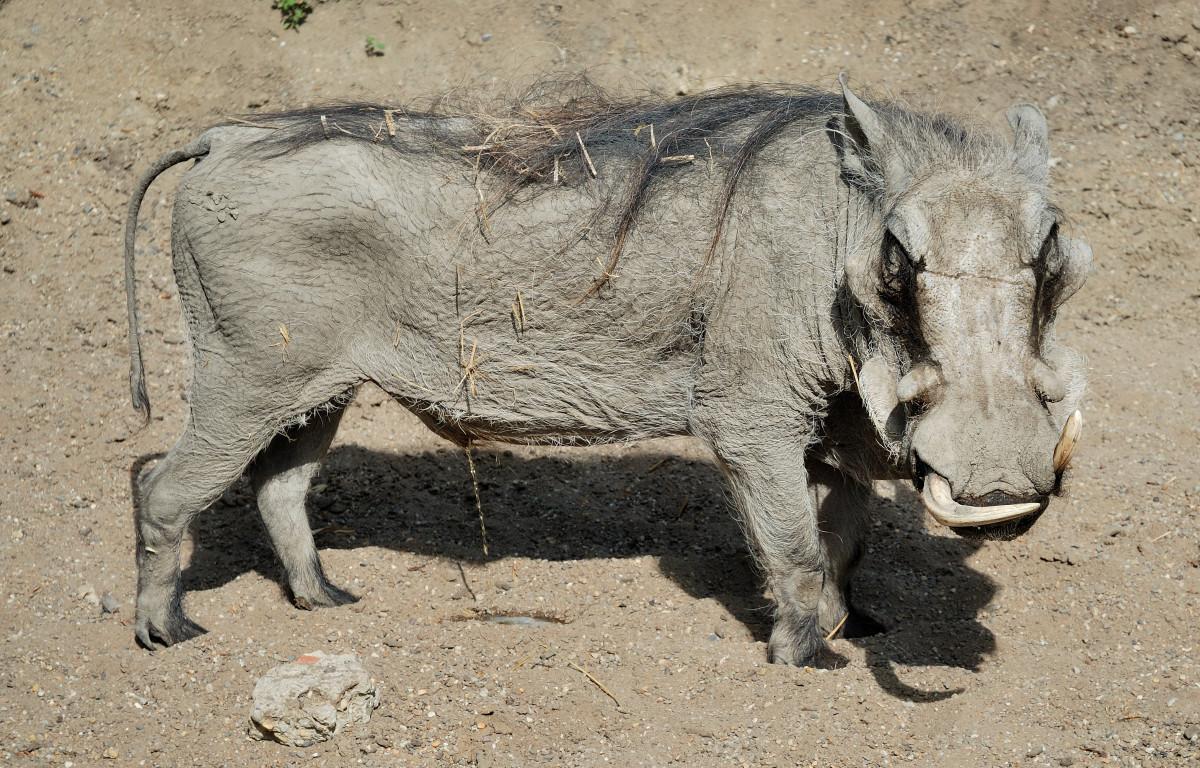 Muenster-Warthog