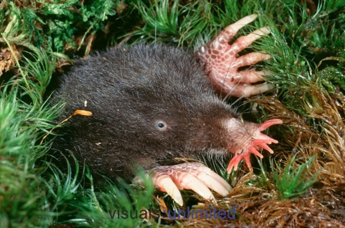 Stat nosed mole