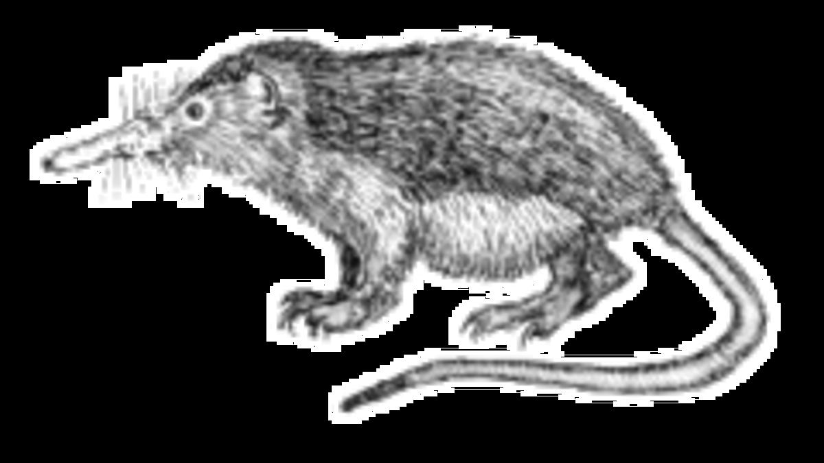 Dixi-Solenodon cubanus-transparent