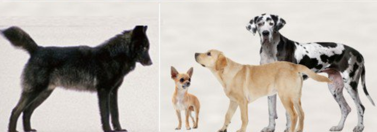Dog vs Wolf : Height comparision