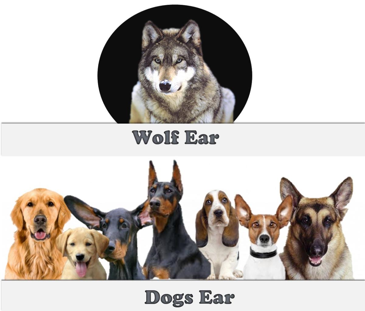 Wolf vs Dogs Ear