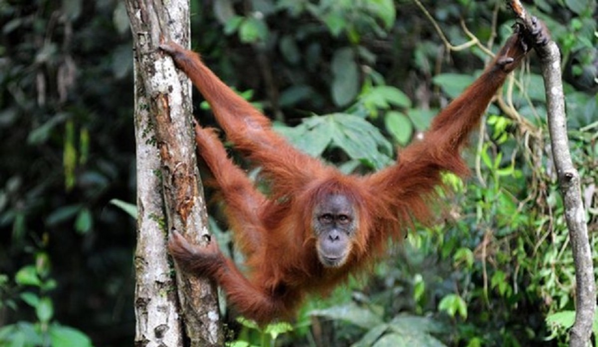 A Sumatran orangutan, one of only two species in the wild.