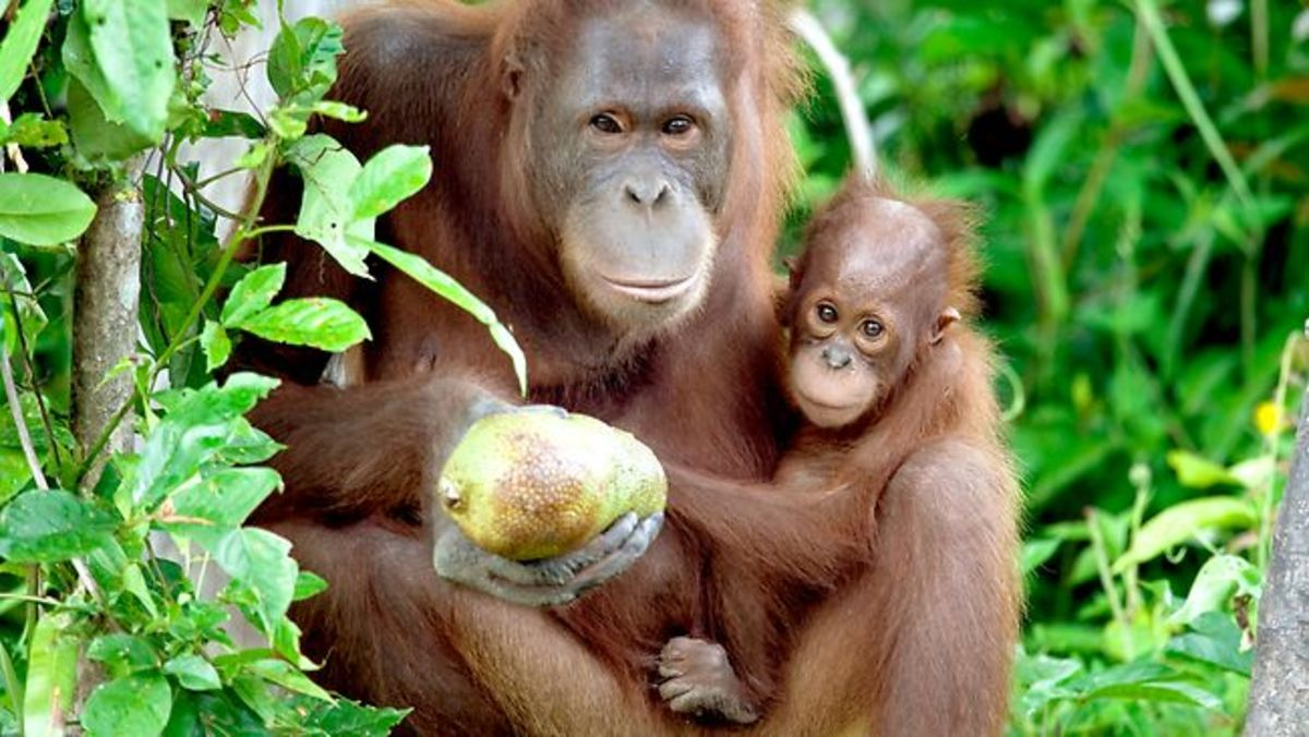 A Borneo orangutan and her baby.  The Borneo Orangutan Survival Foundation is the world's largest non-profit organization to protect directly endangered orangutans in Indonesia.