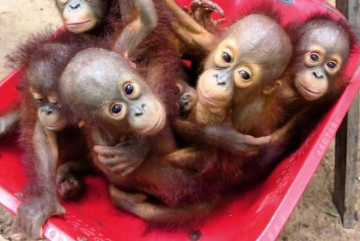 These baby orangutans were all abandoned by their mother.  Now, they are taken to school by wheelbarrow  to the International Animal Rescue's school in Keptang, Indonesia where they will learn to survive in the wild.