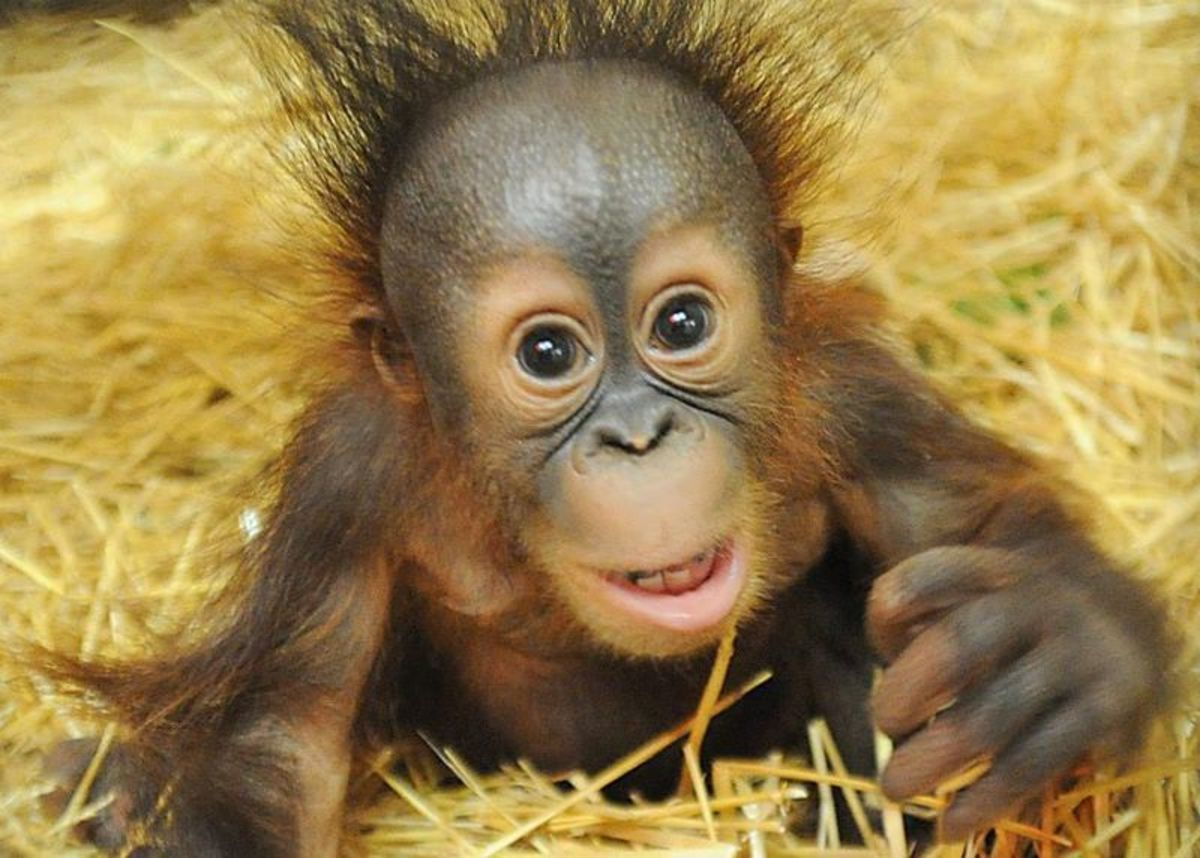 This is Kecil, a Bornean Orangutan that has a surrogate mother, a 53-year-old Bornean Orangutan named Maggie. They are at the Brookfield Zoo in Chicago. His mother at the Toledo Zoo rejected him.