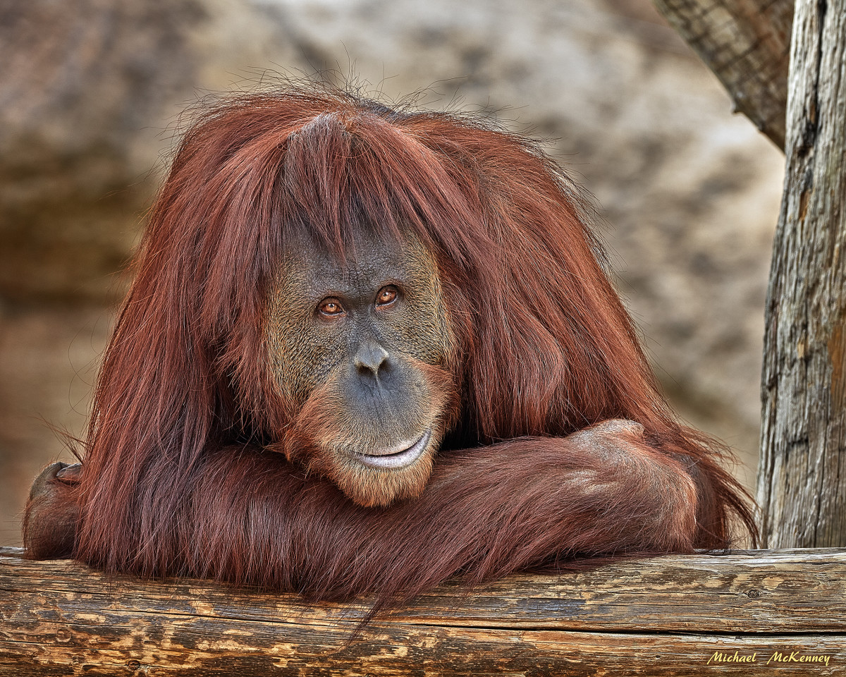 The Endangered Orangutan and the Things That Threaten Its Survival