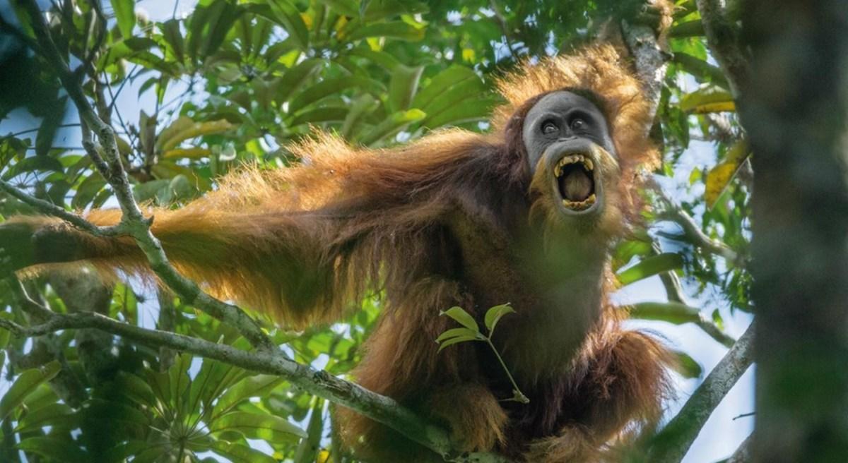 This wild-looking fellow is an elderly Sumatran orangutan in the forests of Borneo.