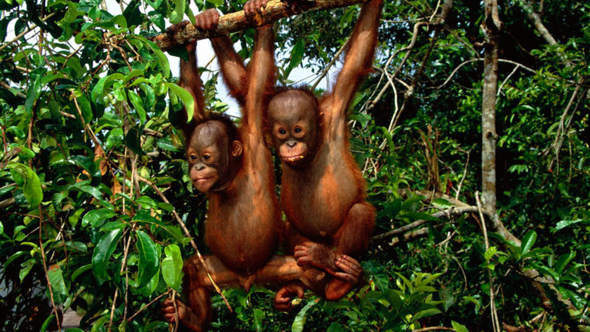 Two young Borneo orangutans playing.  Newborn orangutans weigh only about three pounds, and they are not weaned from their mothers until they are about three to four years old.