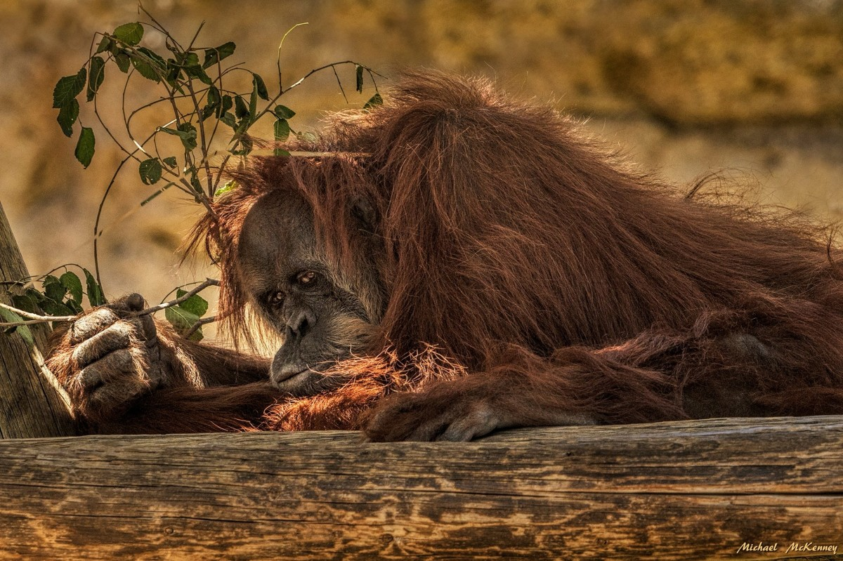 According to a report by the New York Times Magazine, orangutans raised in captivity do much better on cognitive tests that those in the wild.  Human interaction definitely helps, although this one looks as if he's too tired to interact right now.